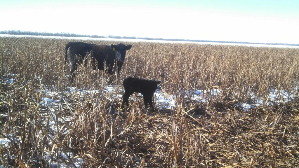 The proud mother and baby heifer calf stand in corn stalks just minutes after the calve's birth.